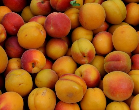 Robada apricots from ACMA Mission Orchards. Photo copyright 2014 by Zachary D. Lyons.