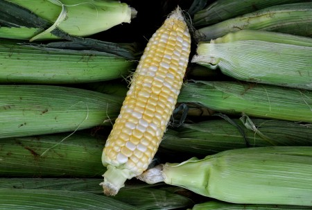 Organic sweet corn from Alvarez Organic Farms. Photo copyright 2014 by Zachary D. Lyons.