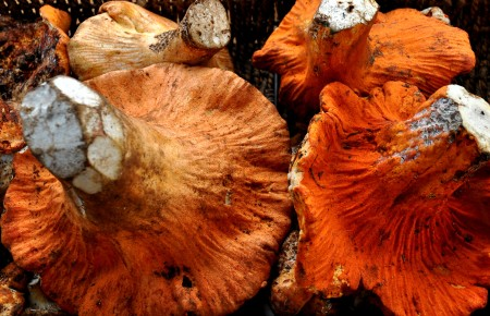 Lobster mushrooms from Foraged & Found Edibles. Photo copyright 2014 by Zachary D. Lyons.