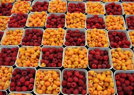 Red & salmon raspberries from Gaia's Harmony Farm. Photo copyright 2014 by Zachary D. Lyons.