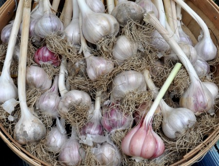Chesnok Red garlic from Jarvis Family Garlic Farm. Photo copyright 2014 by Zachary D. Lyons.