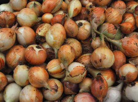 Sweet onions from Stoney Plains Organic Farm. Photo copyright 2014 by Zachary D. Lyons.