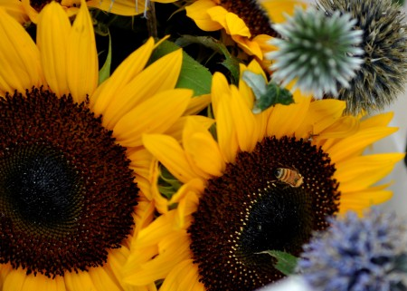 A bee enjoying a sunflower from The Old Farmer at Ballard Farmers Market. Copyright Zachary D. Lyons.