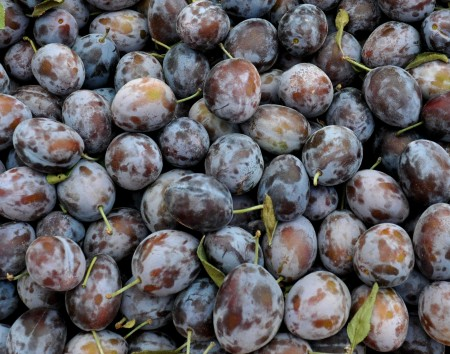 Italian prunes from ACMA Mission Orchards at Ballard Farmers Market. Copyright Zachary D. Lyons.