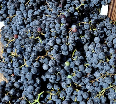 Concord grapes from Lyall Farms at Ballard Farmers Market. Copyright Zachary D. Lyons.
