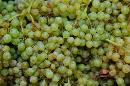 Seedless Thompson table grapes from Magana Farms at Ballard Farmers Market. Copyright Zachary D. Lyons.