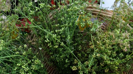 Coriander from Oxbow Farm at Ballard Farmers Market. Copyright Zachary D. Lyons.