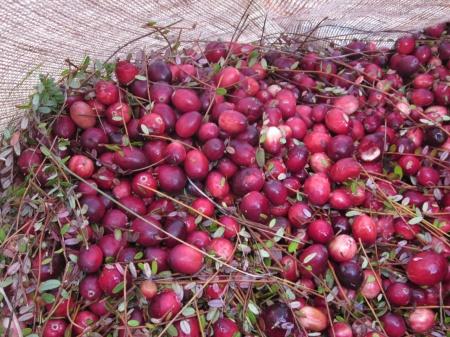 Freshly-picked cranberries on the farm from Bloom Creek Cranberry Farm. Photo courtesy Bloom Creek.