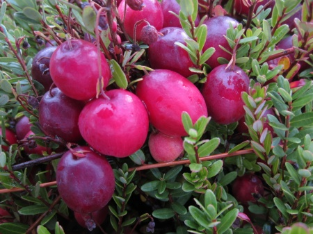 Cranberries on the bush at Bloom Creek Cranberry Farm. Photo courtesy Bloom Creek.