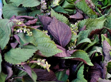 Shiso from Children's Garden at Ballard Farmers Market. Copyright 2014 by Zachary D. Lyons.