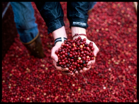 Organic cranberries from Starvation Alley Cranberry Farm at Ballard Farmers Market. Copyright Giles Clement.