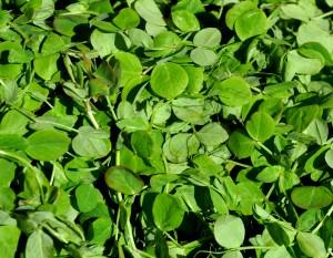 Pea Shoots from Kirsop Farm Copyright Zachary D Lyons