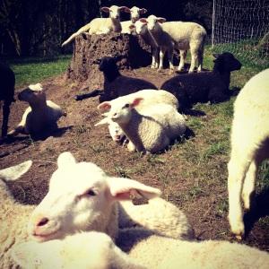 Glendale Shepherd's baby lambs born January and February 2015